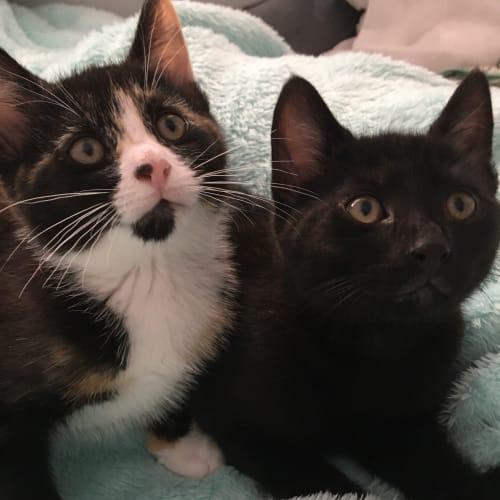 Pekoe and Kody - Domestic Short Hair Cat