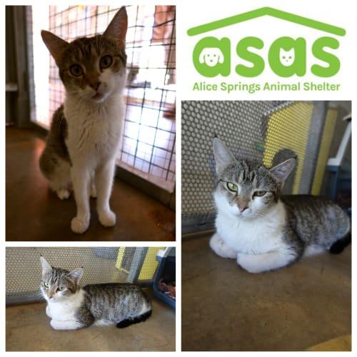 Alice  CT19-327 - Domestic Short Hair Cat