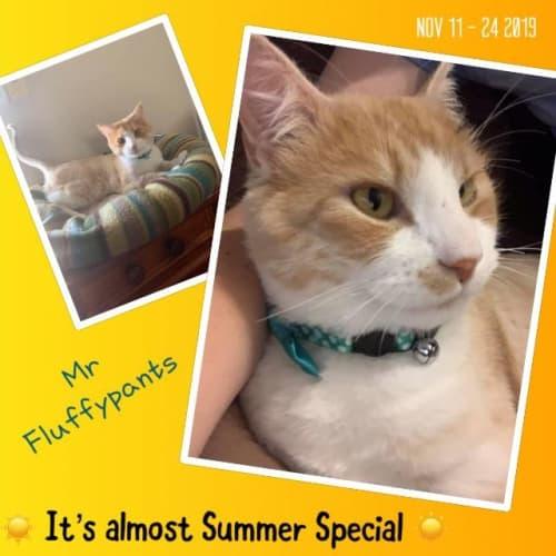 Mr Fluffy Pants - Domestic Long Hair Cat