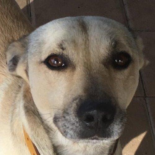 Nova - Shih Tzu x Staffordshire Bull Terrier Dog