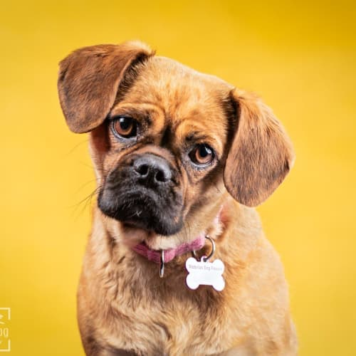 Mina Wazowski  - Pug x Cavalier King Charles Spaniel Dog