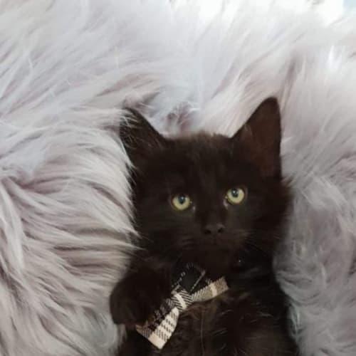 1757 - Woody - Domestic Short Hair Cat
