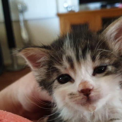 Jasper - Domestic Medium Hair Cat