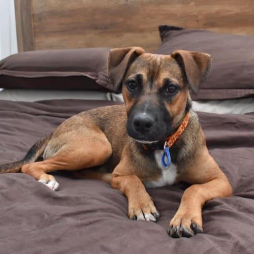 Bella - Huntaway Dog