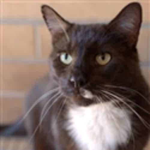 Tippy - Domestic Short Hair Cat