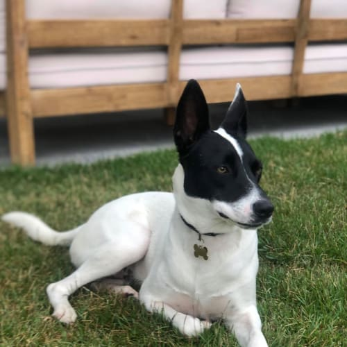 Archie - Border Collie x Kelpie Dog