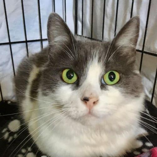 Sansa - Domestic Medium Hair Cat