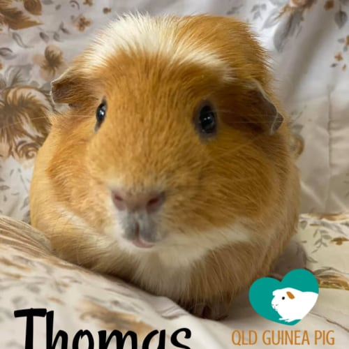 Thomas (desexed male) - Crested Guinea Pig