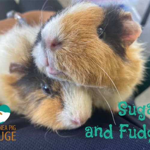 Sugar and Fudge - Rex Guinea Pig