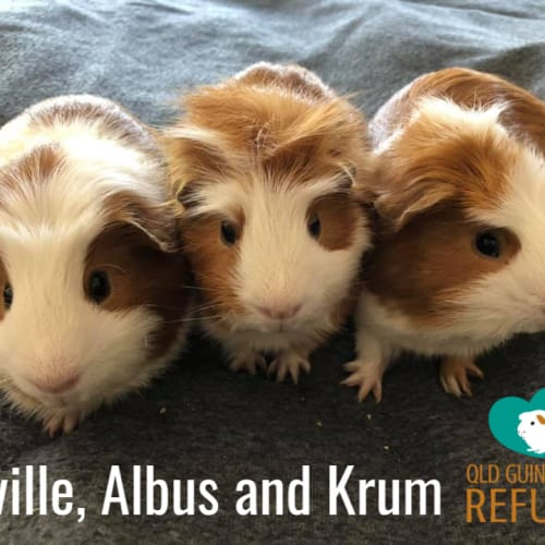 Neville, Albus and Krum - Crested Guinea Pig