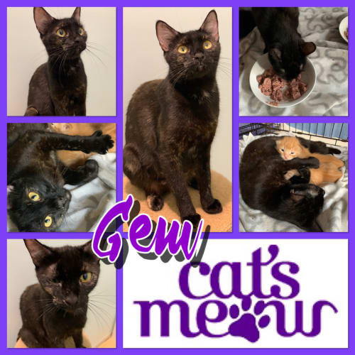 Gem - Domestic Short Hair Cat