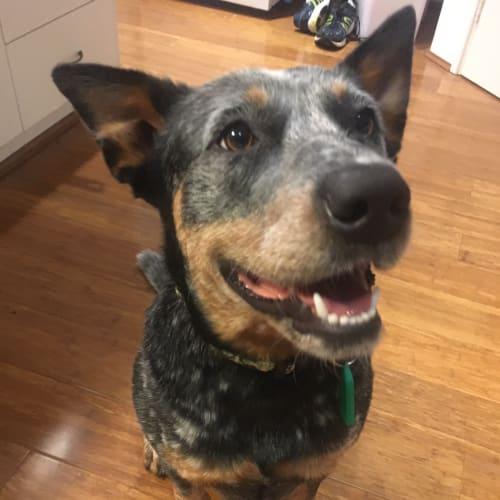 Maggie DL2254 - Blue Heeler Dog
