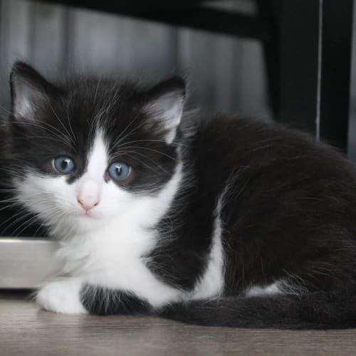 River - Domestic Long Hair Cat