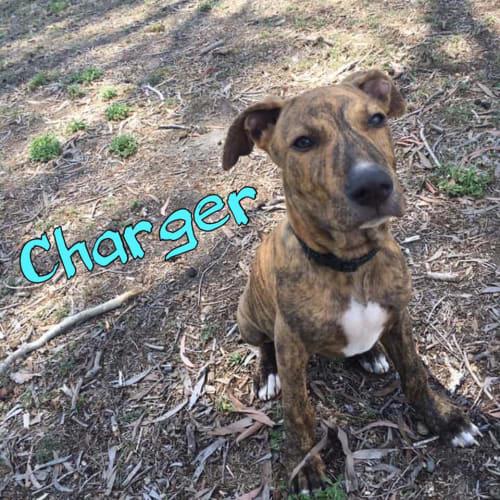 Charger  - Kelpie x Staffy Dog