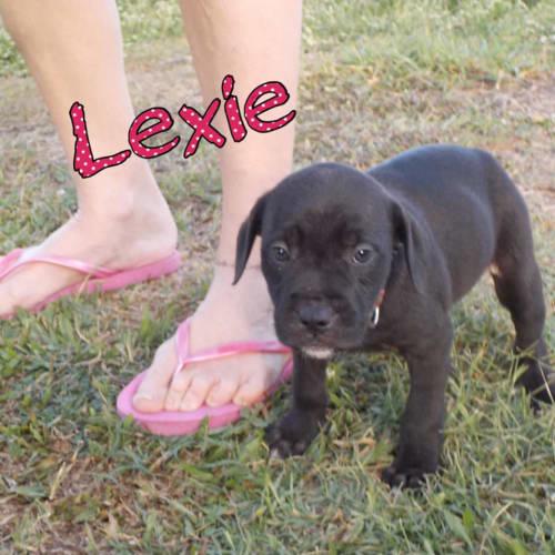 Lexie - Staffordshire Bull Terrier Dog