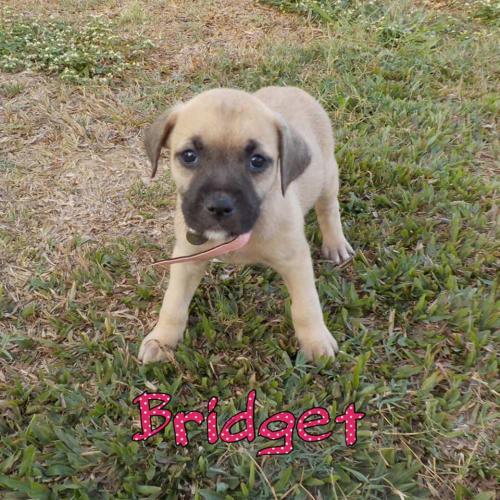 Bridget - Staffordshire Bull Terrier Dog