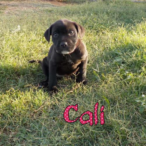 Cali  - Staffordshire Bull Terrier Dog