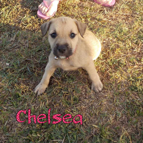 Chelsea - Staffordshire Bull Terrier Dog