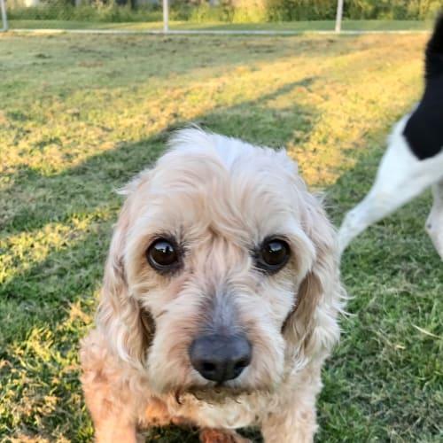 Simba - Cavalier King Charles Spaniel x Poodle Dog