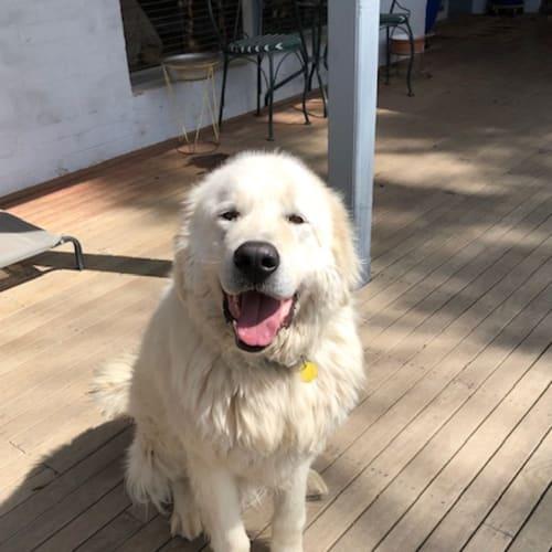 Bear - Maremma Sheepdog