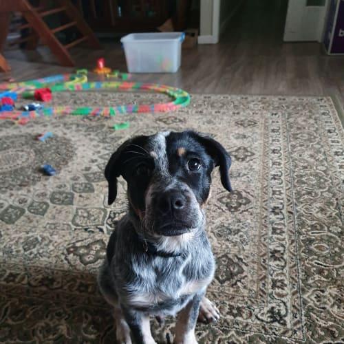Hamish - Blue Heeler Dog