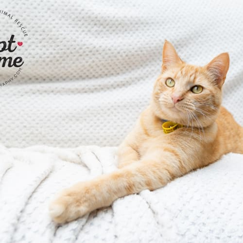 Wilbur & Clyde (Bonded Pair) ❤️ - Domestic Short Hair Cat