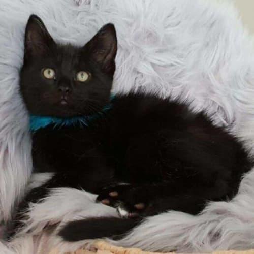 1756 - Buzz - Domestic Short Hair Cat