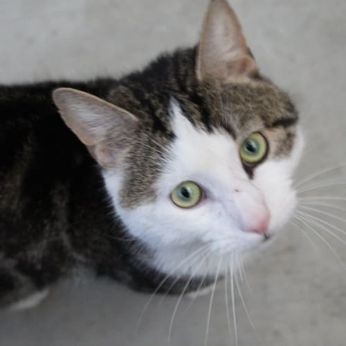 Luigi - Domestic Short Hair Cat