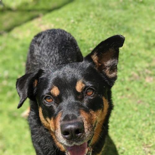 Ralph - Kelpie Dog