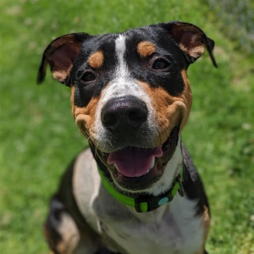 Marcus - Rottweiller Dog
