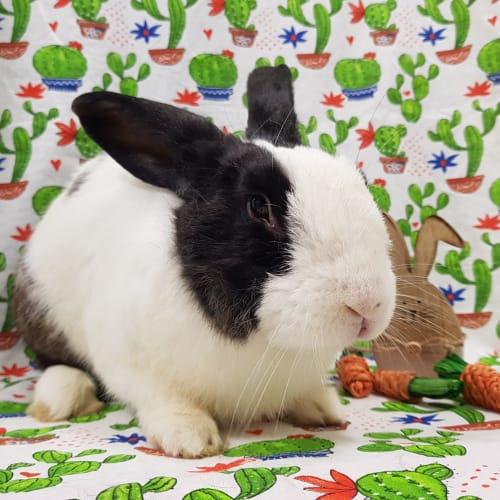 D.O.B: 06/10/2017 Sex: Male Breed: Flemish Giant   - Flemish Giant Rabbit