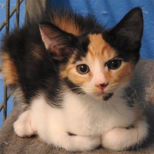 Splotch - Domestic Short Hair Cat