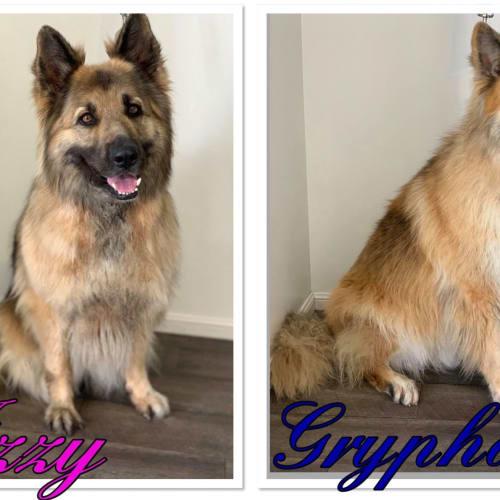 Izzy and Gryphon - German Shepherd Dog
