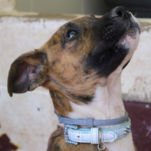 Richie - Bull Arab Dog