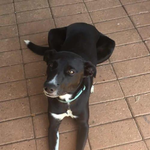Phoebe - Border Collie Dog