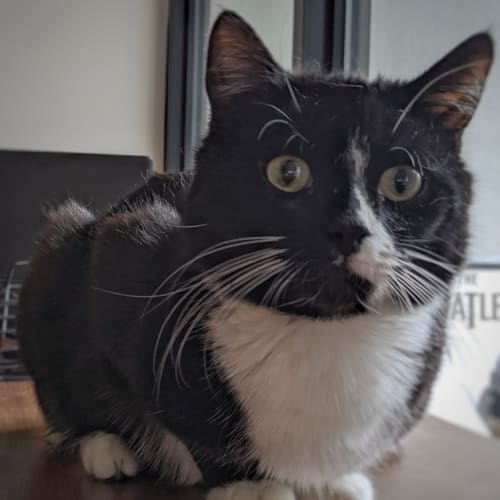 Heath - Located in Abbotsford - Domestic Short Hair Cat