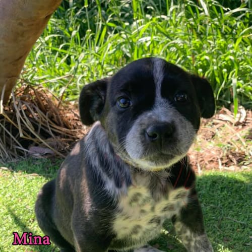 Mina - Australian Cattle Dog