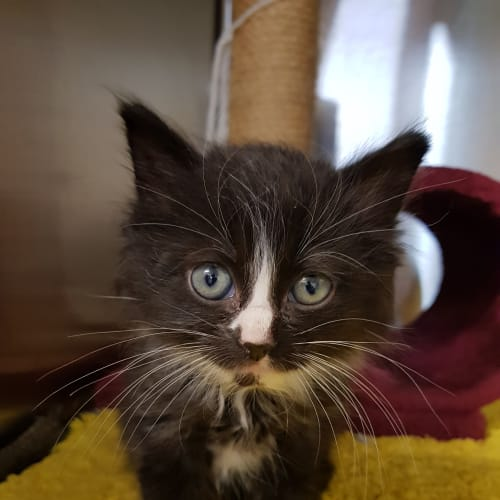 Angus - available early December - Domestic Medium Hair Cat