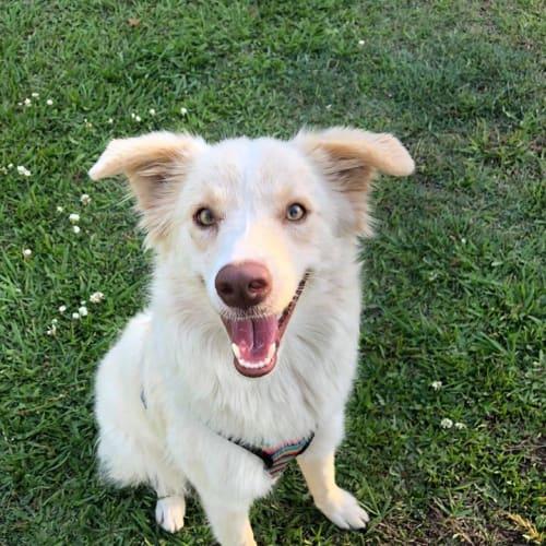 Honey  - Border Collie Dog