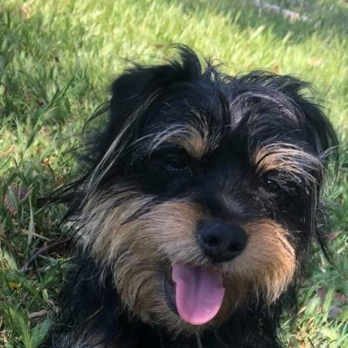 Toddy ❤🧡💗 - Yorkshire Terrier Dog