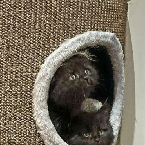 Harvey and louis  - Domestic Long Hair Cat