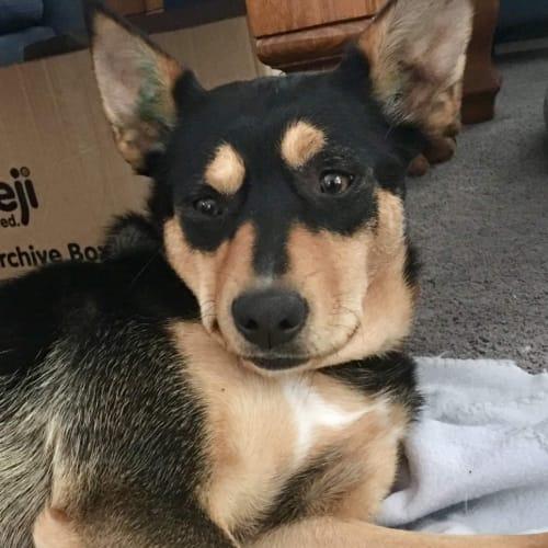 Sami - Kelpie Dog
