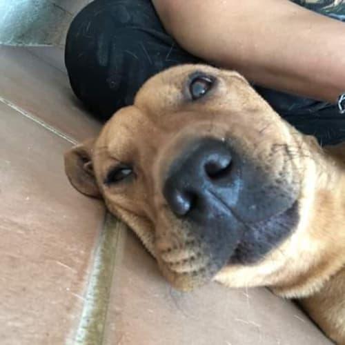 Big Girl DL2289 - Dachshund Dog