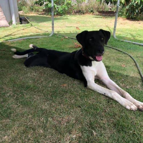 Luna - Great Dane Dog