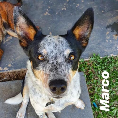 Marco - Australian Cattle Dog