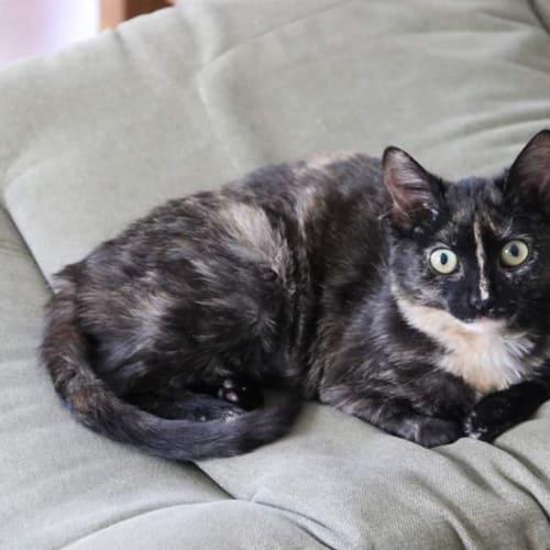 Coco - Domestic Longhair Cat