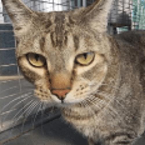 Tiger - Domestic Short Hair Cat
