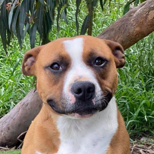 Becca - Staffy Dog