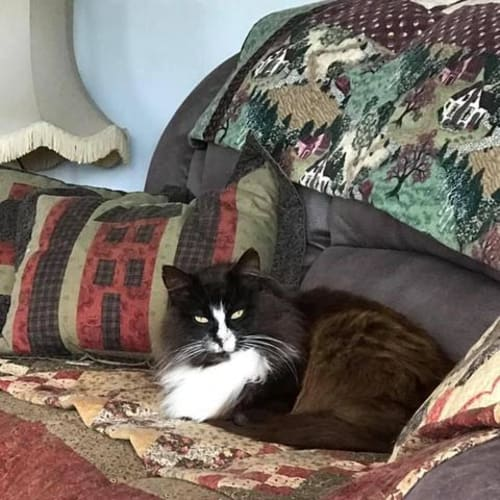 Wilder - Domestic Long Hair Cat