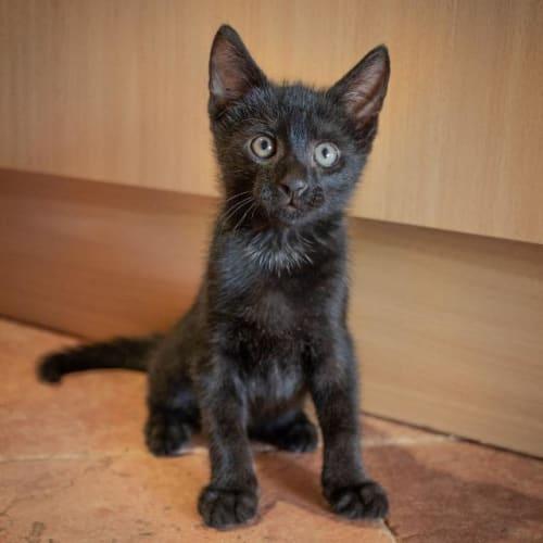 Bobble - Domestic Short Hair Cat